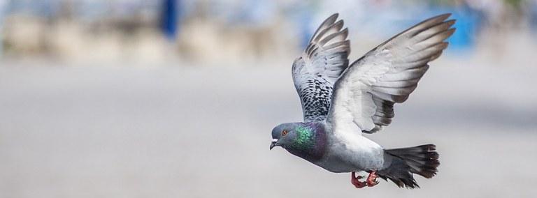 UBD - Pigeons