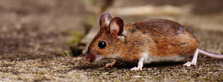 UBD - Rodents