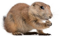 Rodent 2