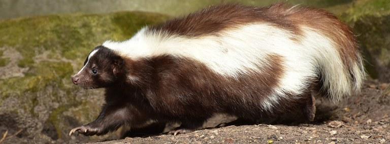 UBD - Skunks