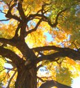 Cottonwood tree pic