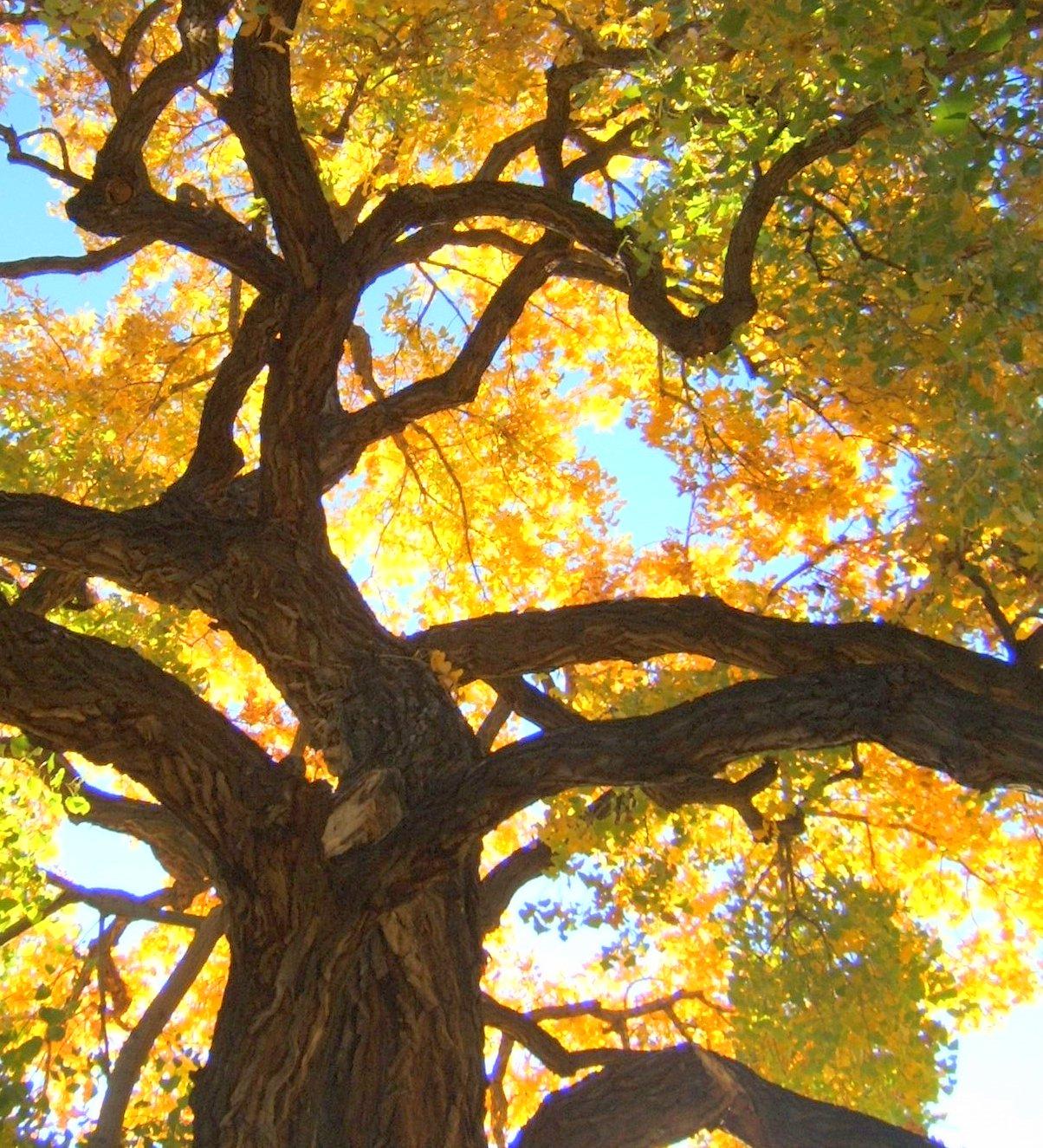 Cottonwood tree pic