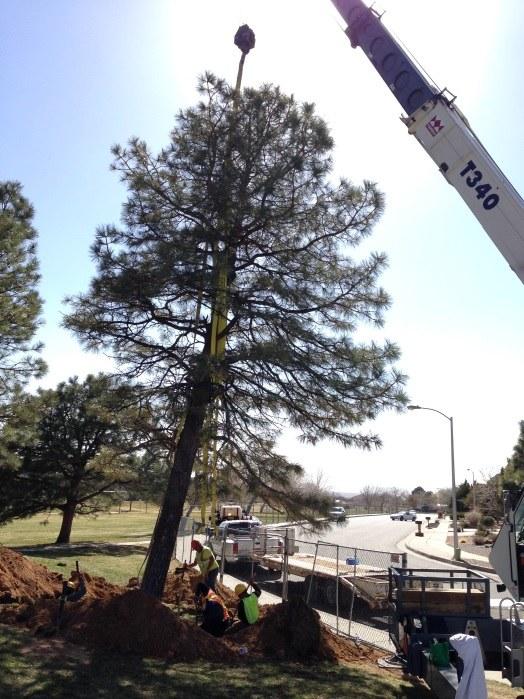 Pine 25