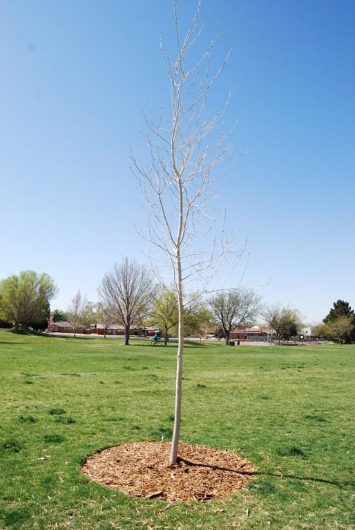 Snow Park Tribute Tree (east)