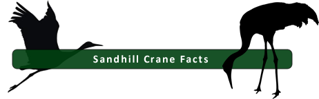 Facts about Sandhill Cranes