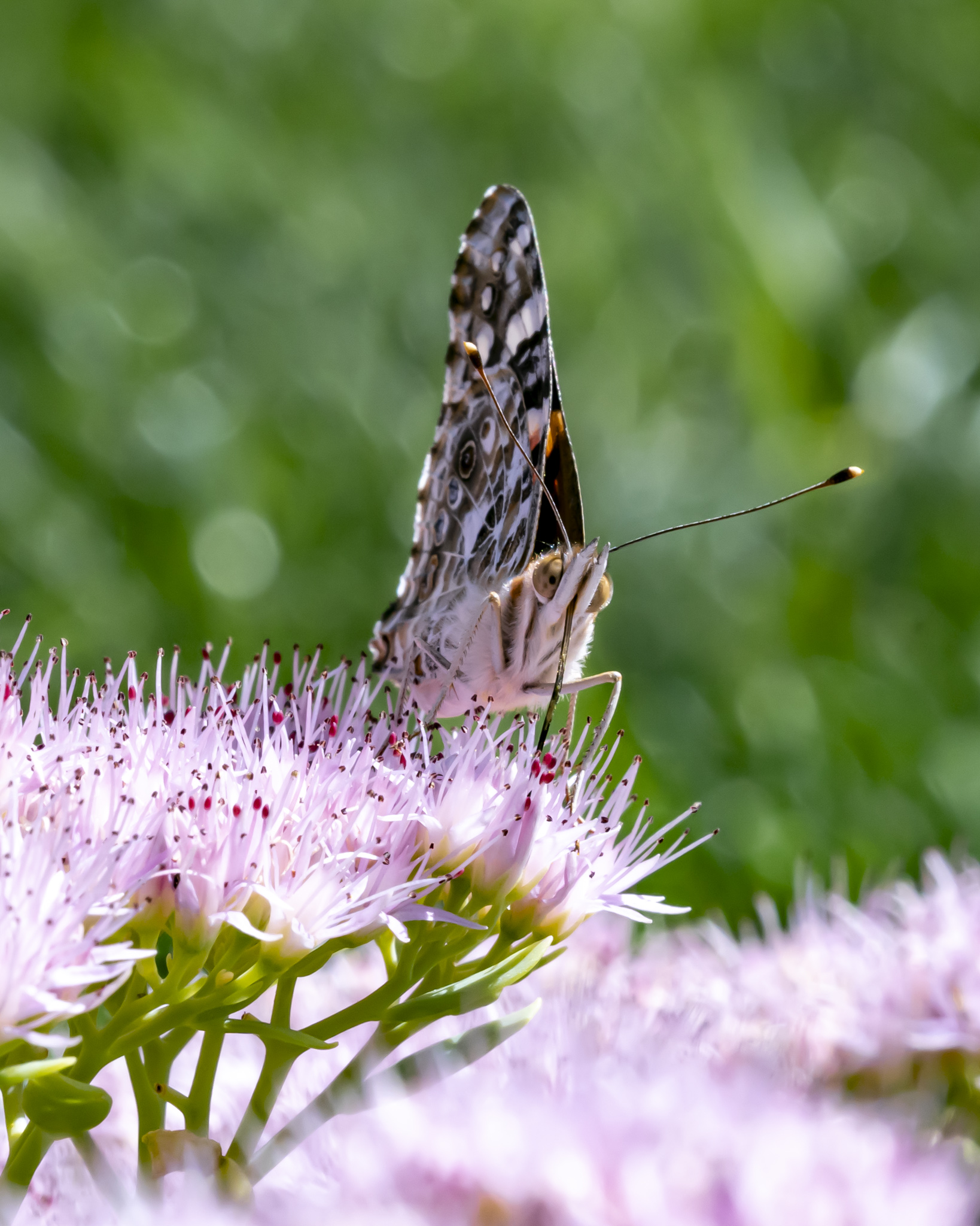 OSVC Painted lady