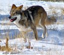 Wolf Habitat Protection