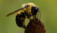 Swarm Season: Bees are House Hunting!