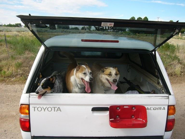 Dogs in truck