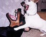 Dogs biting