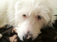 Image of a white terrier-type dog.