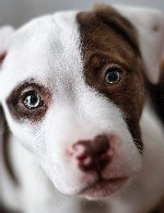 Pit bull puppy face