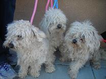 Poodles Before