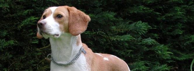 Beagle - Featured Pet