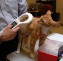 Cat is scanned for microchip