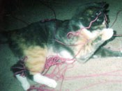 Callee the Cat with Yarn