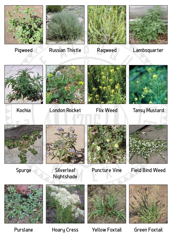 A chart showing the 16 nuisance weeds defined by the City of Albuquerque for 2017.