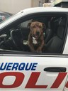 Pup Wants to be a Police K9