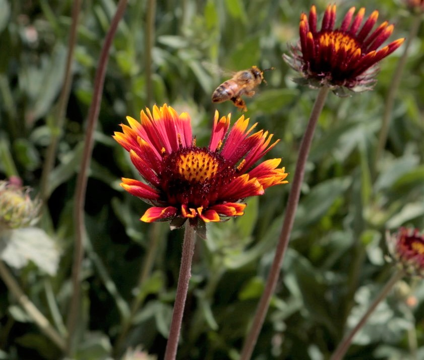 A blooming yellow, red, and orange wildflower being pollenated by a bee.