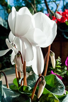 A white cyclamen blooms in the Mediterranean Conservatory.