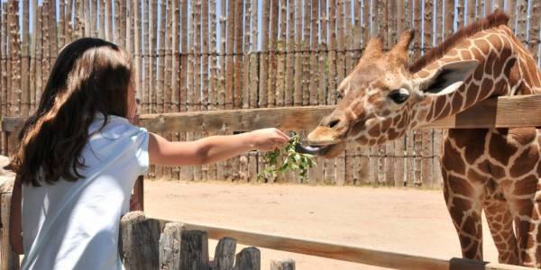 An image of a child feeding a giraffe.