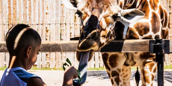 Child Feeding Giraffe