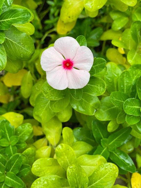 Angelica Vela, Flower
