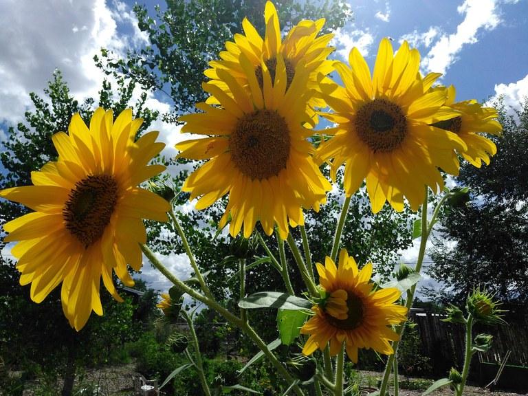 Faith Armijo, The Sunflower