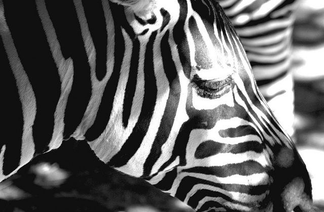 template-zebra